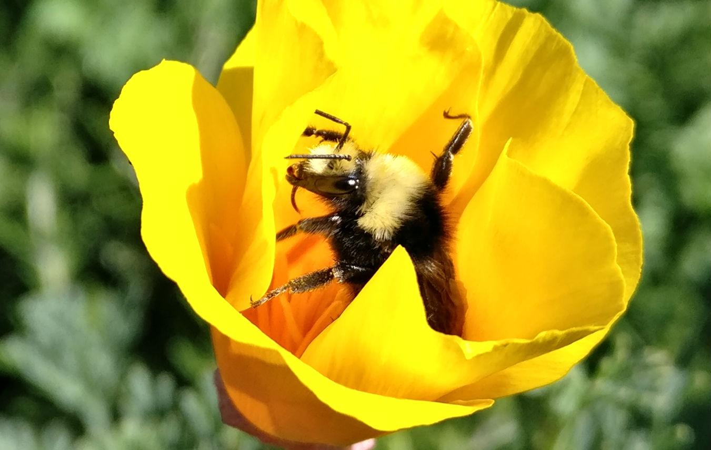 Bee OnePlus 3